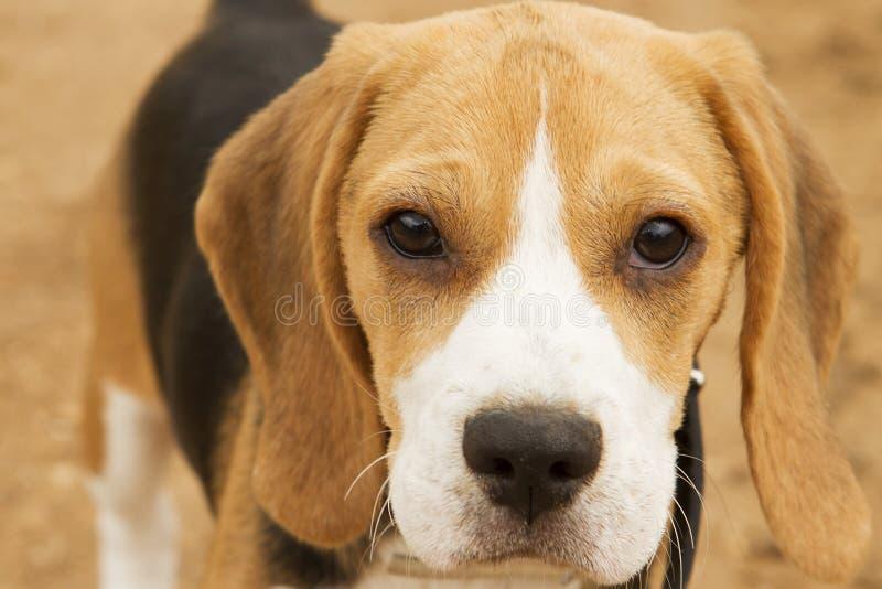 Beagle imagen de archivo libre de regalías