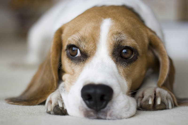 Download Beagle stock image. Image of beagle, alone, female, home - 3852515