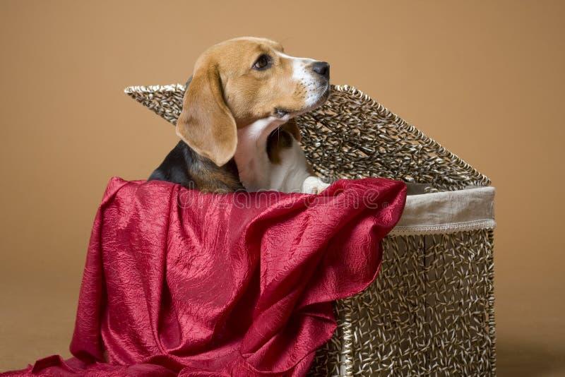 Beagle_4 fotos de archivo libres de regalías