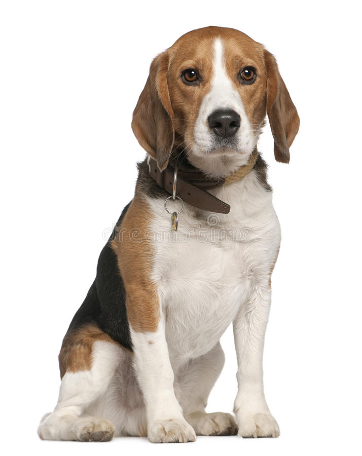 Download Beagle, 5 Years Old, Sitting Stock Images - Image: 15360804