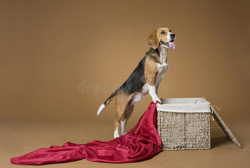 Beagle_7 fotos de archivo libres de regalías