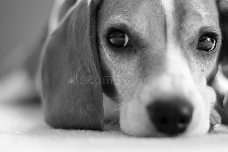 Beagle stock image