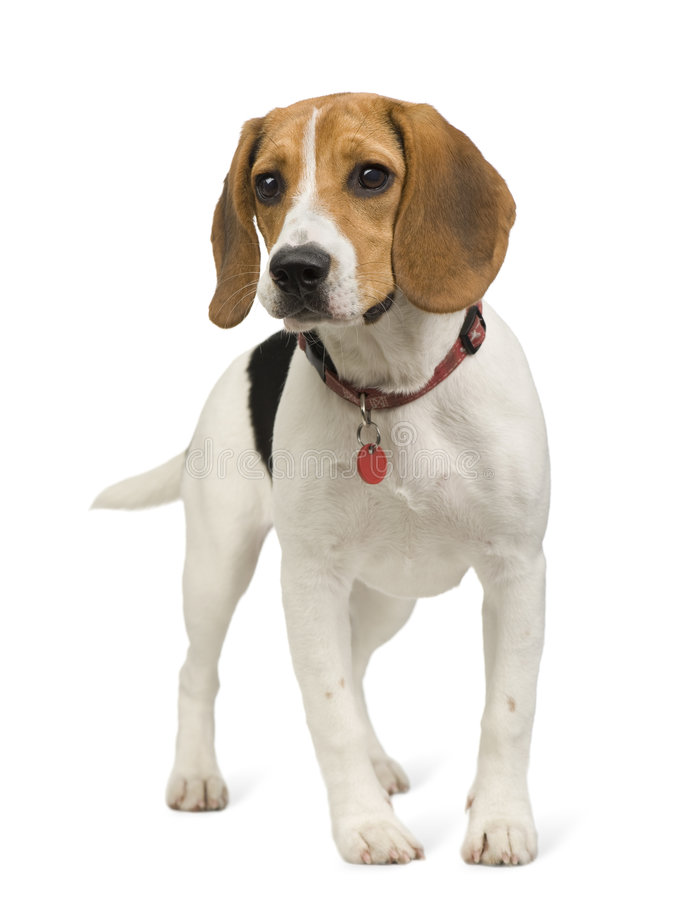 Download Beagle (8 months) stock photo. Image of pets, animals - 5878106