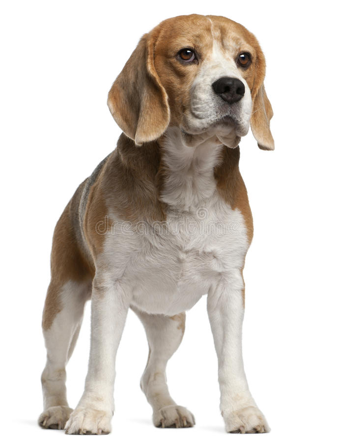 Beagle, 8 Years Old, Standing Stock Images
