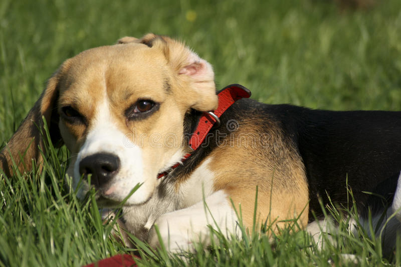 Download Beagle stock photo. Image of outdoors, tracker, play, chew - 9976068