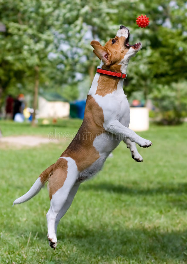 Beagle with ball stock photos