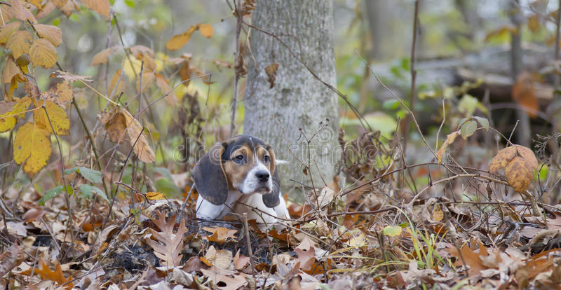 Beagle Basset Puppy Laying in Leaves. Annie the Beagle Basset Puppy laying in the leaves with sad eyes and floppy ears royalty free stock photography