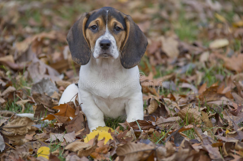 Beagle Basset Puppy in Leaves. Annie the Beagle Basset Puppy in a sitting in a pile of Leaves with sad eyes and floppy ears stock photography