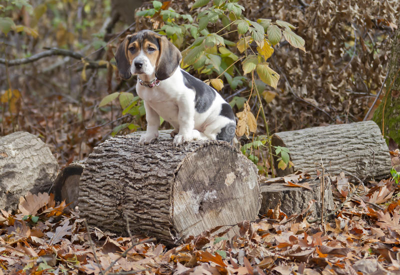 Beagle Basset Puppy Sitting on Log. Annie the Beagle Basset Puppy sitting on a log surround by leaves with sad eyes and floppy ears stock photos