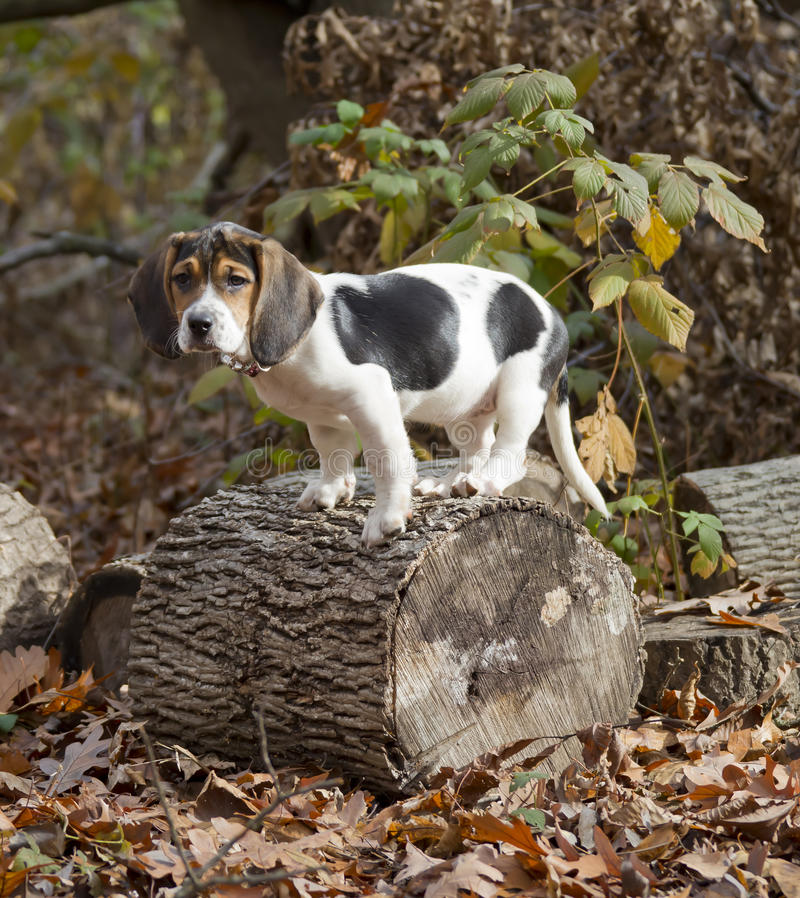 Beagle Basset Puppy Standing on Log. Annie the Beagle Basset Puppy standing on a log surround by leaves with sad eyes and floppy ears stock image