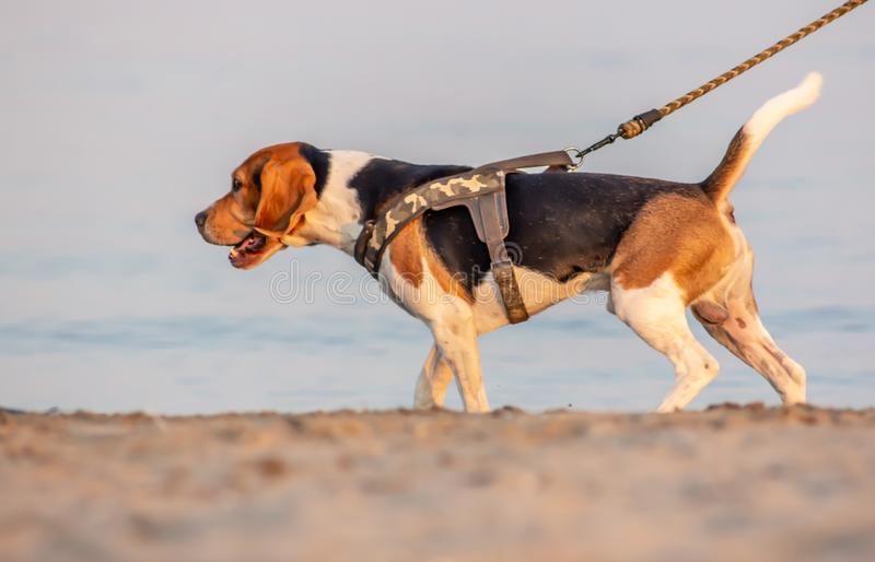 The beagle or bracchetto is a breed of medium-sized hunting dogs of English origin, originally used mostly to hunt animals such. As rabbits, pheasants, foxes royalty free stock photo