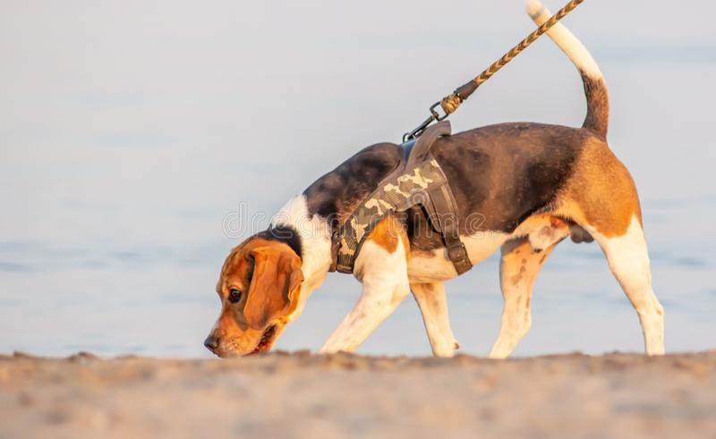 The beagle or bracchetto is a breed of medium-sized hunting dogs of English origin, originally used mostly to hunt animals such. As rabbits, pheasants, foxes royalty free stock images