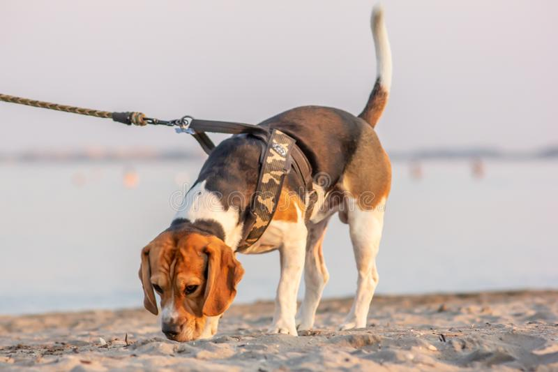 The beagle or bracchetto is a breed of medium-sized hunting dogs of English origin, originally used mostly to hunt animals such. As rabbits, pheasants, foxes stock photography