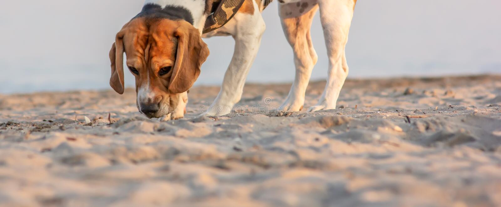 The beagle or bracchetto is a breed of medium-sized hunting dogs of English origin, originally used mostly to hunt animals such. As rabbits, pheasants, foxes stock photos