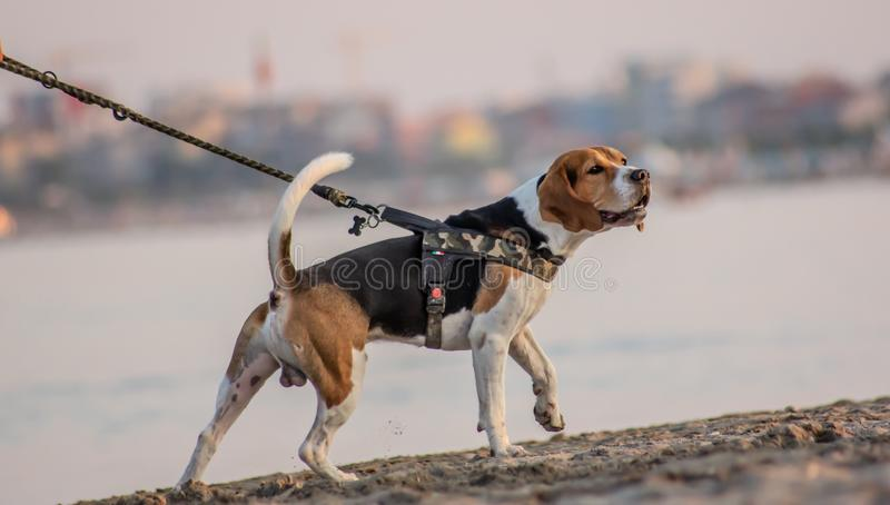 The beagle or bracchetto is a breed of medium-sized hunting dogs of English origin, originally used mostly to hunt animals such. As rabbits, pheasants, foxes royalty free stock image