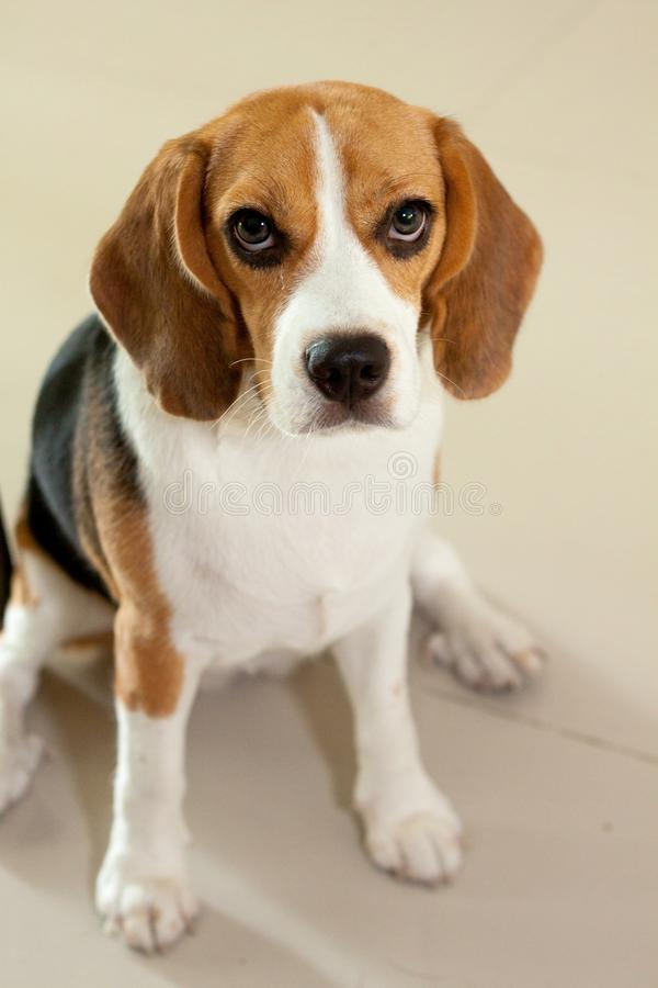 A Cute Eyeliner puppy in sitting pose. The Beagle is a breed of small hound that is similar in appearance to the much larger foxhound. The beagle is a scent royalty free stock images