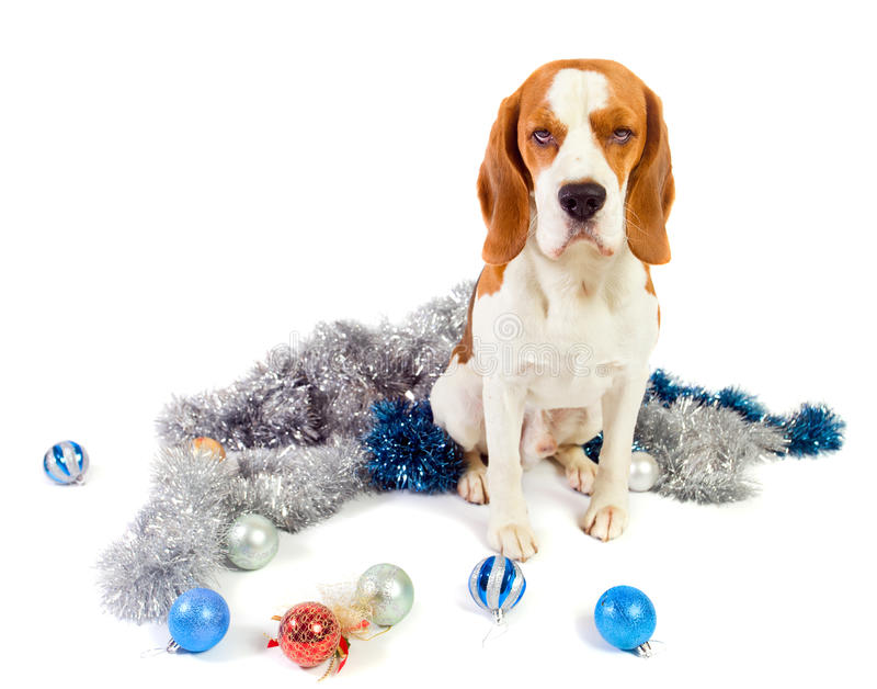 Download Beagle And Christmas Ornaments Royalty Free Stock Photo - Image: 22288425