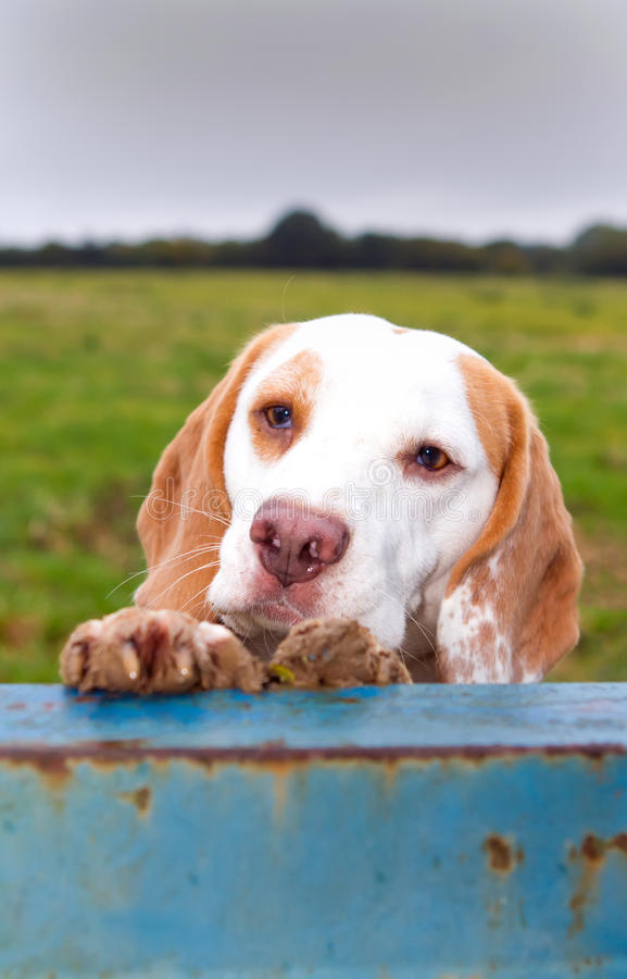 Beagle climbing up for a peep royalty free stock photography