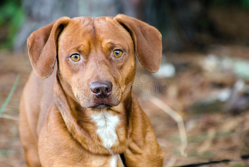 Beagle Dachshund mixed breed dog. Outdoor pet photography, humane society adoption photo, Walton County Animal Shelter, Georgia stock photography