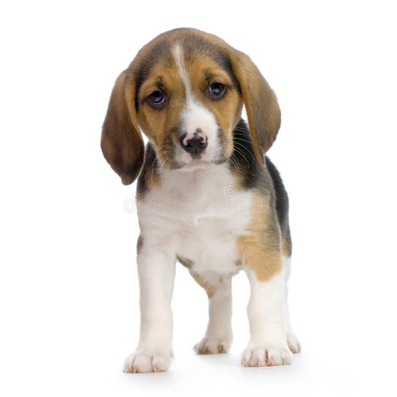 Beagle del perrito fotografía de archivo libre de regalías