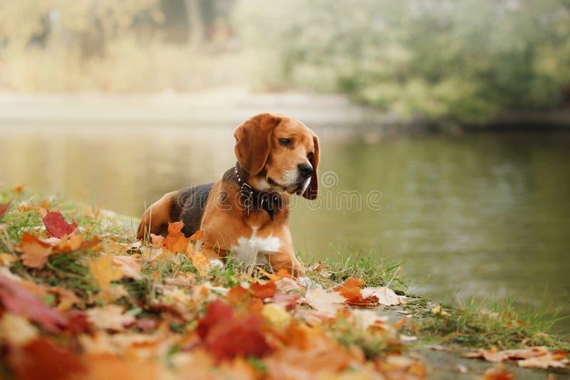 Beagle del perro que camina en parque del otoño fotos de archivo libres de regalías
