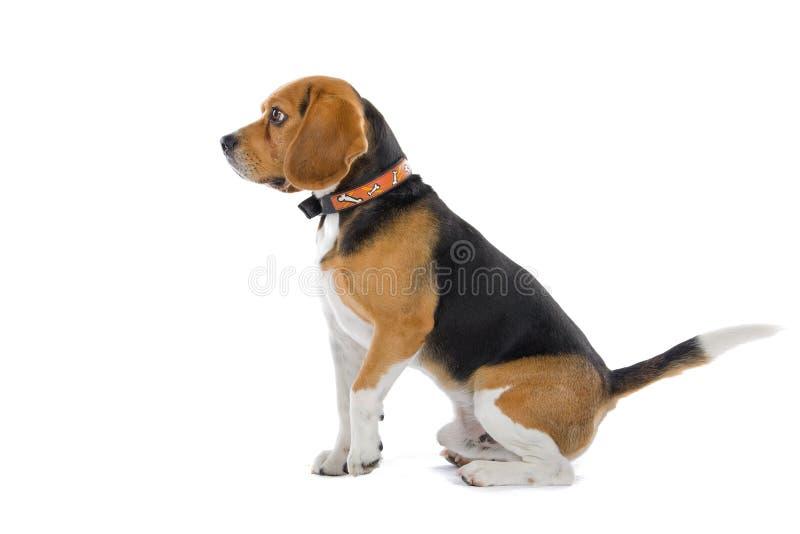 Amazing Two Beagle Adorable Dog - beagle-dog-11309609  Best Photo Reference_603969  .jpg