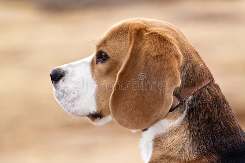 Beagle dog. Side portrait of tan and white beagle hound dog outdoors