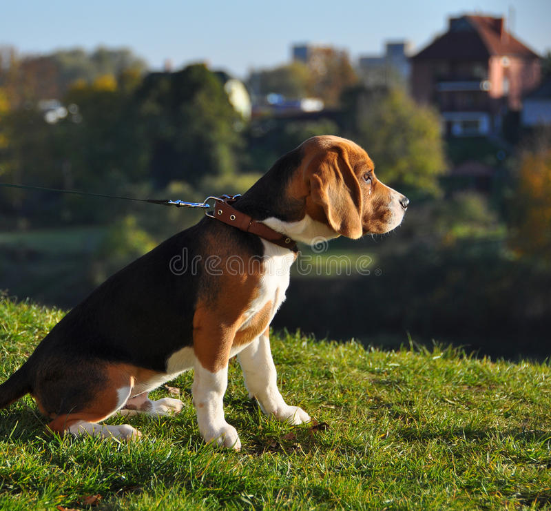 Beagle dog stock images