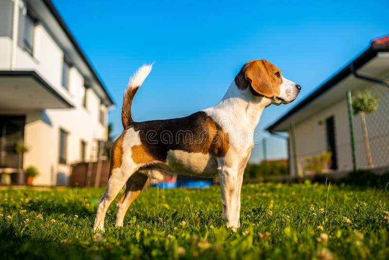 Pet, dog, canine, purebred, mammal, doggy, domestic, pets, animal, beagle, pedigree, nature, background, summer, copyspace, blue royalty free stock photography
