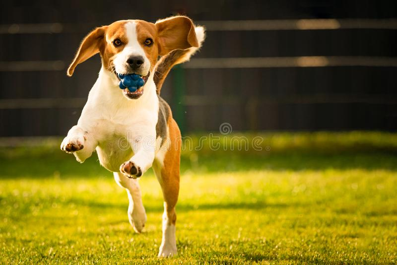 Beagle dog with a ball on a green meadow during spring,summer runs towards camera with ball. Dog Beagle with long floppy ears on a green meadow during spring royalty free stock image