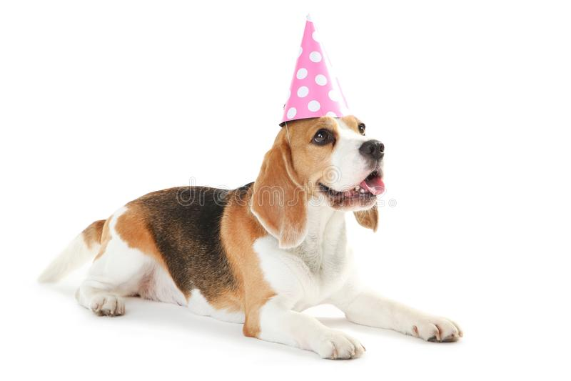 Beagle dog with birthday cap. Isolated on white background royalty free stock photo