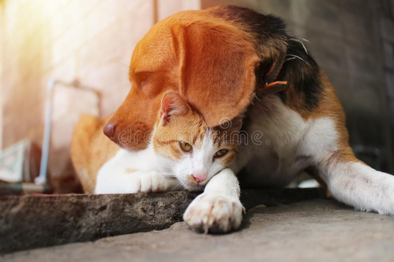 Beagle dog and brown cat. Beagle dog and brown cat in warm hug on the footpath stock images