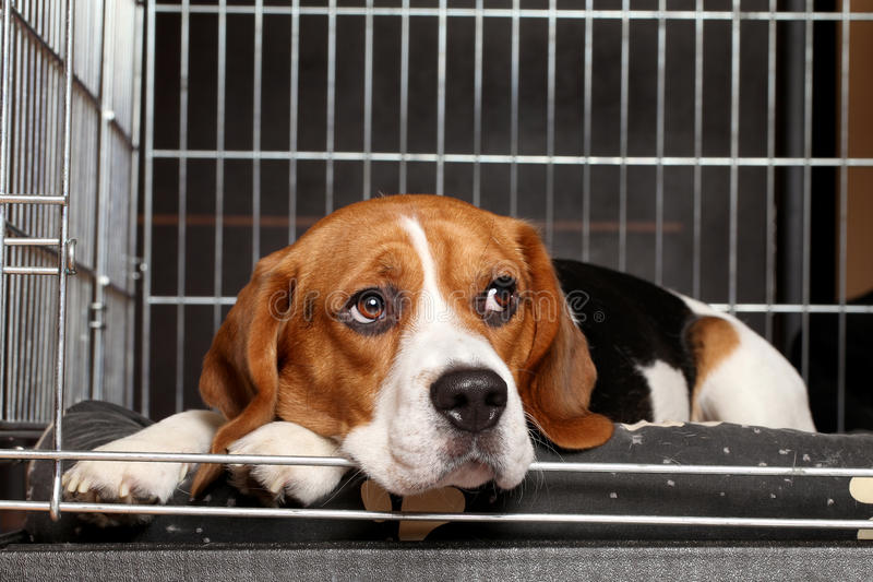 Beagle Dog in cage royalty free stock photos