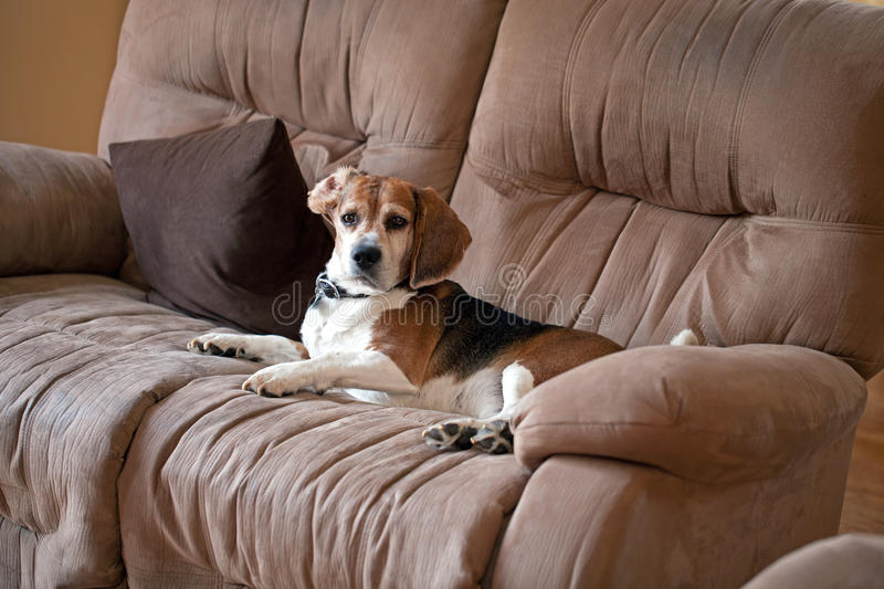 Beagle Dog on the Couch. A sneaky dog caught sleeping on the living room sofa royalty free stock images