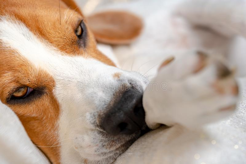 Beagle dog falling asleep and take some rest royalty free stock photos