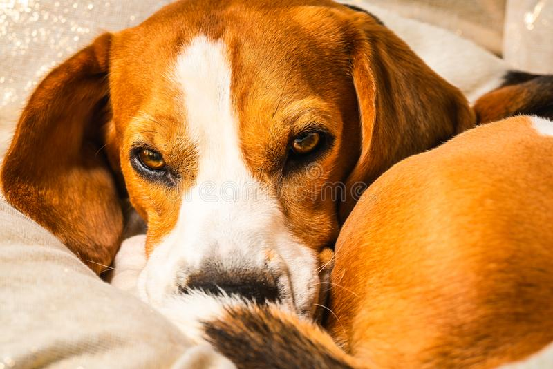 Beagle dog falling asleep and take some rest royalty free stock image