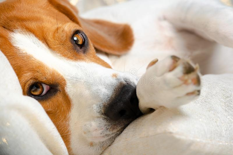 Beagle dog falling asleep and take some rest stock photo