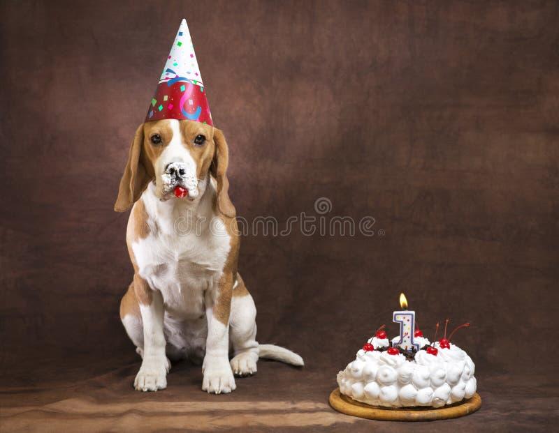 Beagle dog stock photo