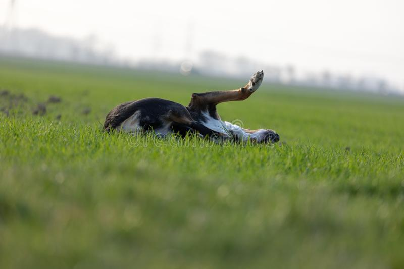 Beagle dog having fun on the lawn in summer stock images