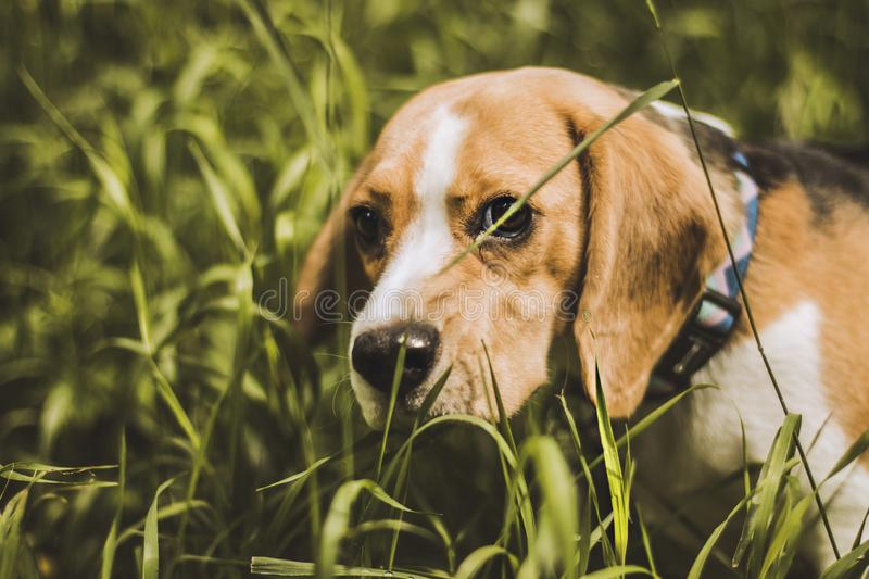 Beagle dog hunter follows the trail. The dog took the trail. Beagle puppy hunter royalty free stock images