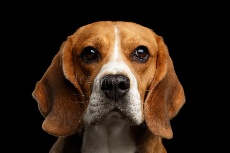 Beagle dog on isolated black background. Close-up portrait of Young Beagle dog looking in camera on isolated black background, front view stock photo