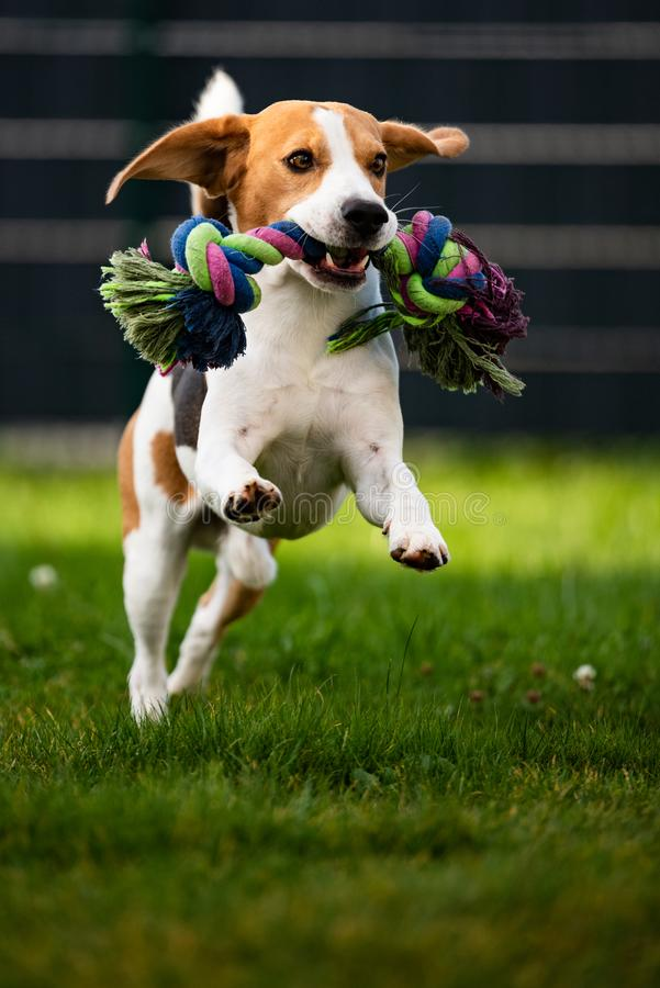 Free Beagle Dog Jumping And Running With A Toy Towards The Camera Stock Photos - 160763313