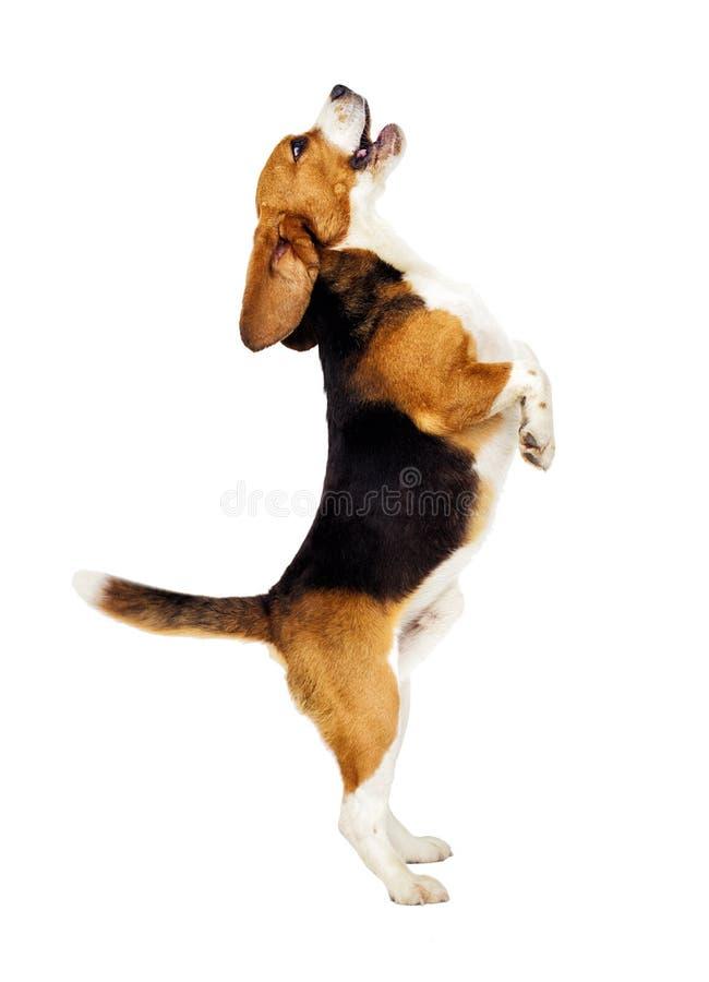 Free Beagle Dog Jumping Up Royalty Free Stock Image - 114919646