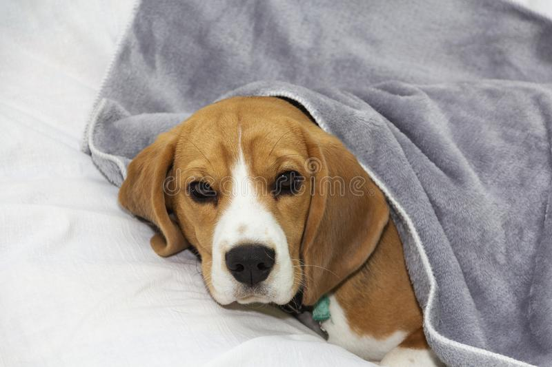 Beagle dog lies covered with a blanket and falls asleep. Tired or sick dog under blankets in bed.  royalty free stock photo