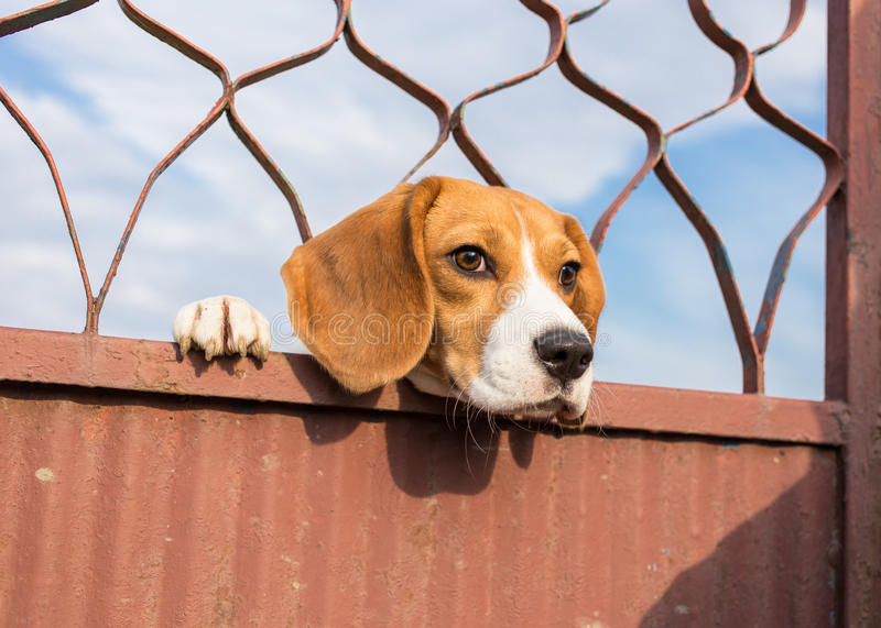 Beagle dog looking through. Gate royalty free stock photography