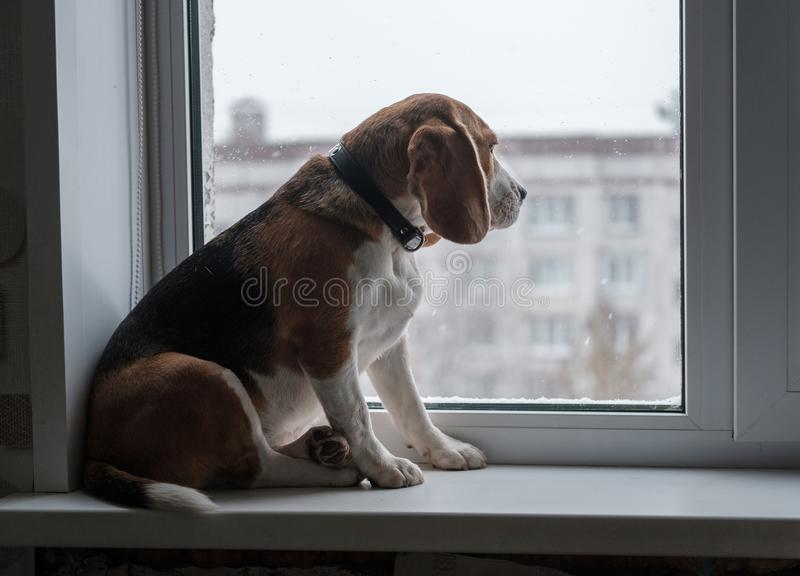 Beagle dog looking at the snow outside the window royalty free stock images