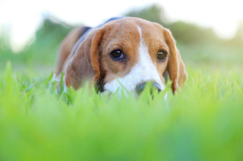 Beagle dog lying down on the green grass. stock image