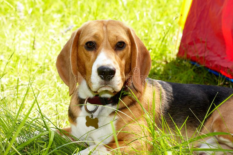 Beagle dog lying on a fresh green grass stock photos