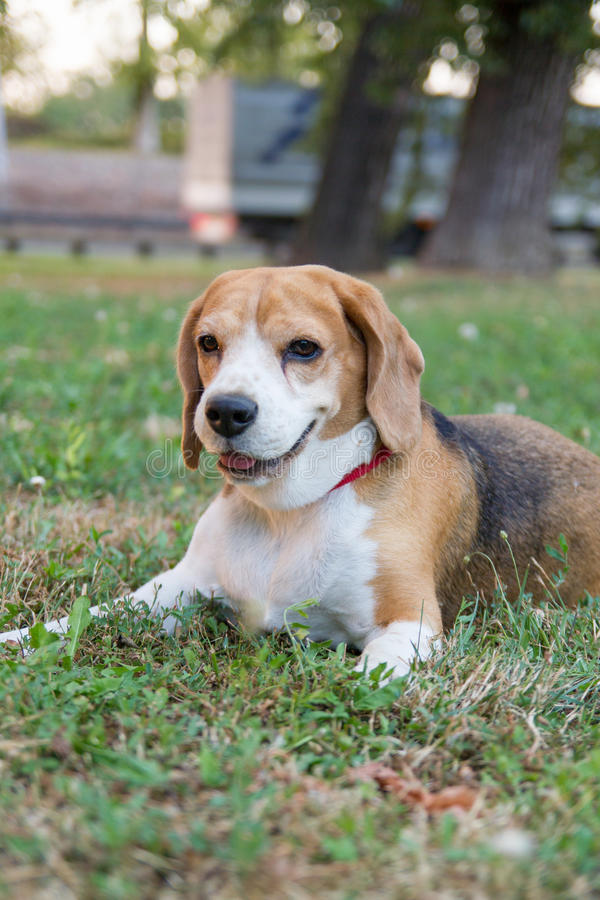 Beagle dog lying on grass in the park and watching royalty free stock photo