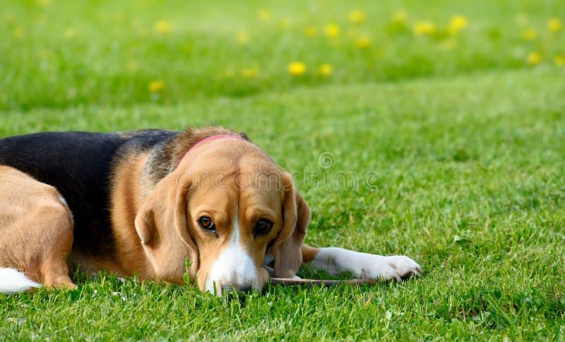 Beagle dog lying on the green grass. stock photo
